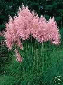 Perennial - Ornamental Pink Pampas Grass Seeds