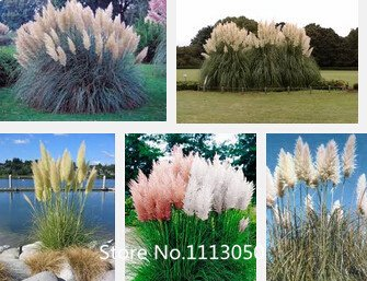 Promotion New Rare Purple Pampas Grass Seeds Ornamental Plant Flowers Cortaderia Selloana Grass Seeds 100 Pieces