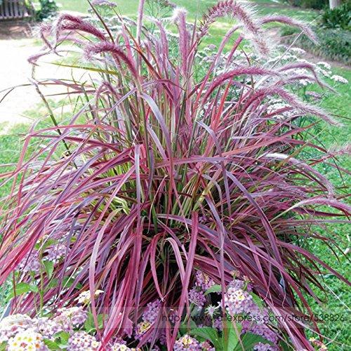 50 Seeds  Pack Half-hardy Perennial Pennisetum Setaceum fireworks Fountain Grass Seeds