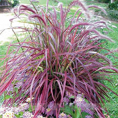 ADB Inc Half-hardy Perennial Pennisetum Setaceum Fireworks Fountain Grass Seeds