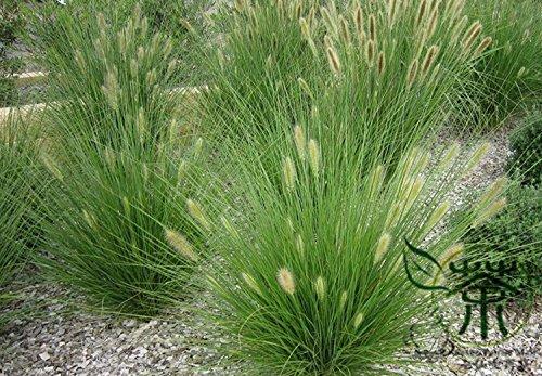 Dwarf Fountain Grass Pennisetum Alopecuroides Seeds 1200pcs Lang Wei Cao Foxtail Fountain Grass Seeds Chinese Pennisetum Seeds