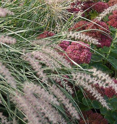 Oriental Fountain Grass Pennisetum Orientale Ornamental Easy 15 Seed