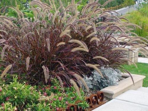 Pennisetum Setaceum Red Fountain Grass Seeds