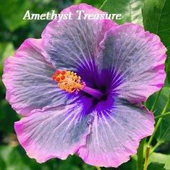 Amethyst Treasure Hibiscus Hibiscus Seeds 10 Seeds Perennial Hibiscus Hibiscus Flower