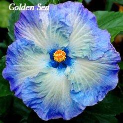 Golden Sea Hibiscus Hibiscus Seeds 10 Seeds Perennial Hibiscus Hibiscus Flower