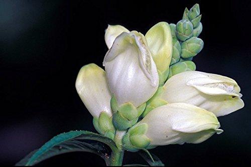 50 Chelone Glabra Turtle Head Flower Seeds shade Loving Perennial