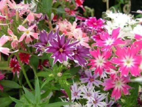 Phlox Twinkle Star Mix Shade Loving  Perennial Flower Seeds