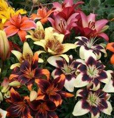 2 Spectacular Flowering Perennials Tango Lily Mix Bulbs Plants Flowers