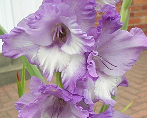 3 Beautiful Flowering Perennials Sword Lily Gladiolus Bulbs Blue Blends Mix