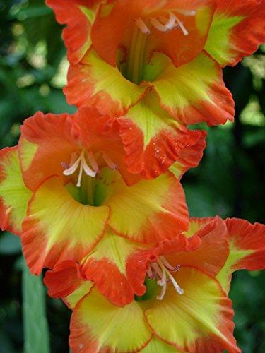 5 Beautiful Flowering Perennials Sword Lily Gladiolus Bulbs Fiesta Orange Yellow Bicolor