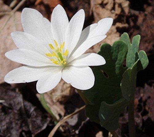 10 Bloodroot-flowering perennial sanguinaria canadensis