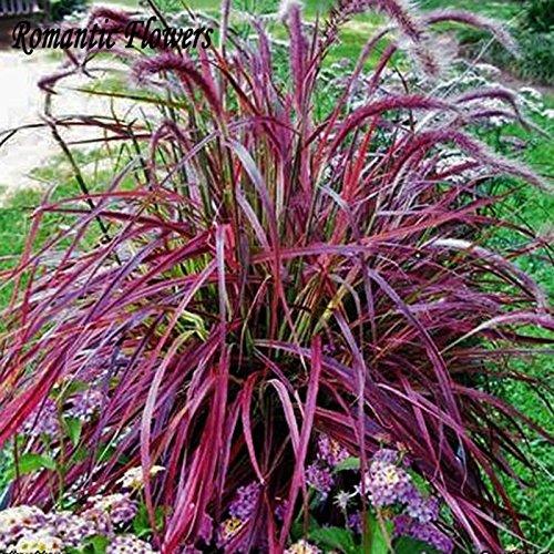 Half-hardy Perennial Fountain Grass Pennisetum Setaceum Fireworks Seeds  50 Seeds  Bag Pennisetum Seed