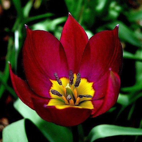 Persian Pearl Tulip 15 Bulbs - Very Hardy - Perennial - 6 cm