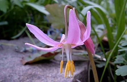 Pink Dawn Hardy Violet 10 Seeds - Erythronium-perennial
