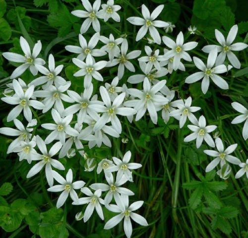 STAR OF BETHLEHEM LILY BULBS ORNITHOGALUM HARDY PERENNIAL PLANT FLOWER 51530
