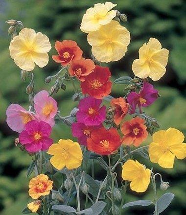 -Bulk- Helianthemum Crown -Mixed-Rock Rose - 300Perennial Groundcover Seeds