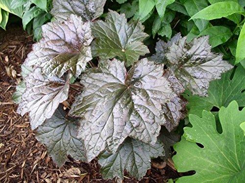 30 Heuchera Purple Palace Coral Bells Flower Seeds Mix Deer Resistant Perennial Groundcover