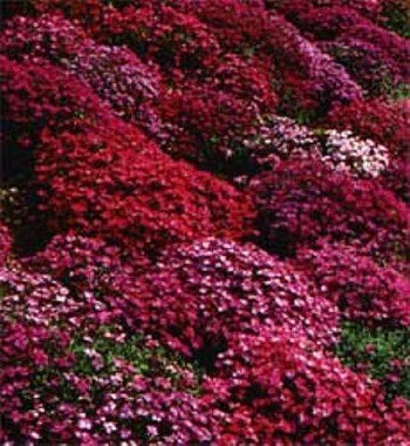50 Aubrieta Rock Cress Bright Red Perennial Flower Seeds  Ground Cover