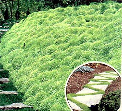 500 Bulk Heirloom Perennial Groundcover Seed - Irish Moss Lush Green Carpet