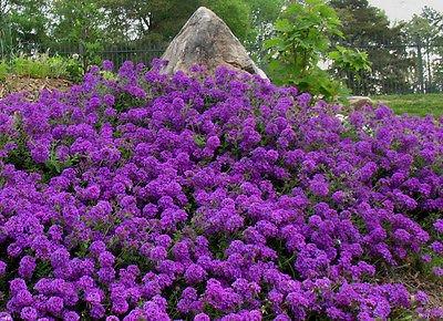 75 Perennial Groundcover  Flower Seeds - Moss Verbena - Violet