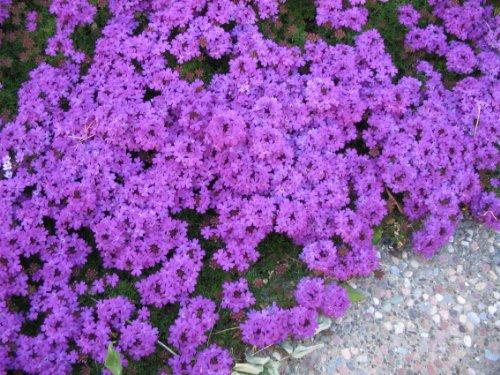 Heirloom 75 Perennial Groundcover  Flower Seeds - Moss Verbena - Violet