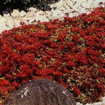 SEDUM-Creeping RedDragons Blood Stonecrop 50 Perennial Ground Cover Seeds