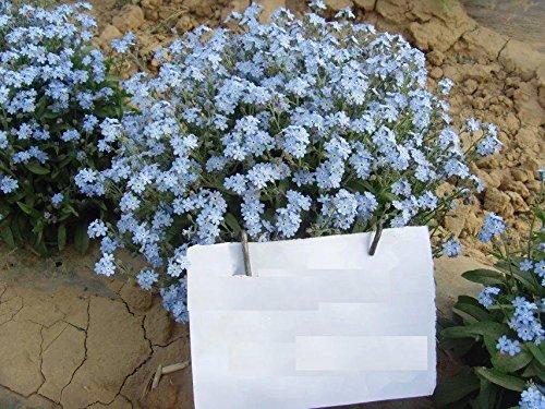 Blue Perennial Myosotis Sylvatica Woodland Forget-Me-Not 500 Seeds