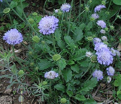 Butterfly Blue Pincushionquotscabiosa&quot 25perennial Seeds