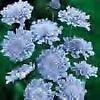 Scabiosa Butterfly Blue PERENNIAL Seeds