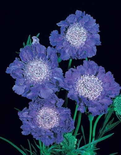 Scabiosa Caucasica Fama Deep Blue Perennial Seeds