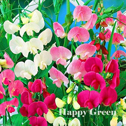 Everlasting Sweet Pea Mix - 25 Seeds - Lathyrus Latifolius Perennial