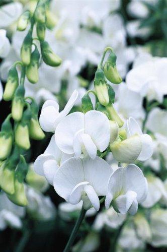 Everlasting Sweet Pea ~pearl White~quotlathryrus Latifolius&quot 10-perennial Seeds