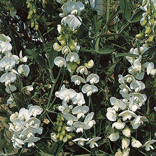 Perennial Sweet Pea - Pearl White - Lathyrus Latifolius ~30 Seeds