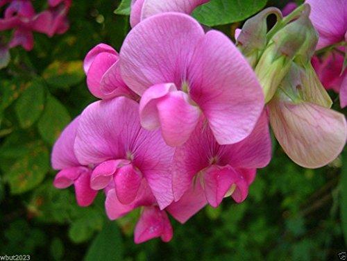 Perennial Sweet Peas 100 Seeds - Pearl Pink Known As Everlasting Pea Vine