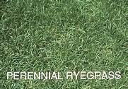 PERENNIAL RYEGRASS INDY 10 LB