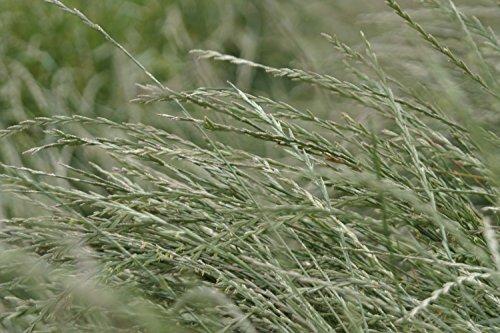 Perennial Ryegrass 10 Lbs