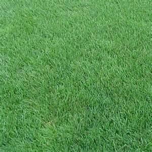 Perennial Ryegrass Seed Oro Verde Tetreploid - 5 Pound - Wizard Seed LLC