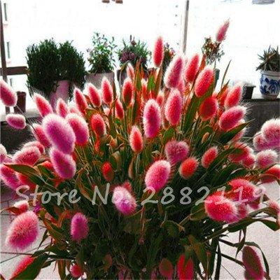 120 Pcs Colorful Rabbit Tail Grass Seeds Bunny Lagurus Ovatus Tropical Ornamental Grass Plant Bonsai Flower Decorate Home Garden 3