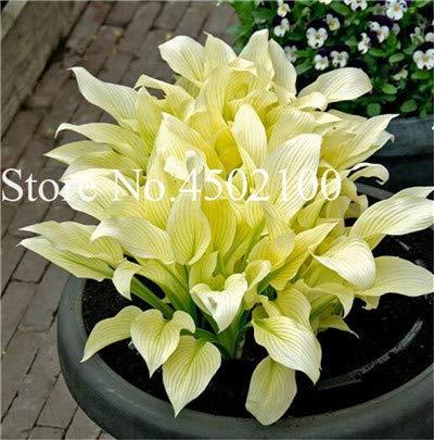 AGROBITS 100 Pcs Beautiful Hosta Bonsai Perennials Plantain Lily Flower White Lace Home Garden Ground Cover Ornamental Grass Plants 10