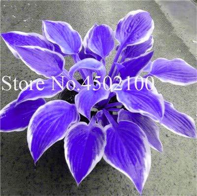 AGROBITS 100 Pcs Beautiful Hosta Bonsai Perennials Plantain Lily Flower White Lace Home Garden Ground Cover Ornamental Grass Plants 14