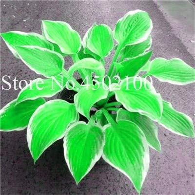 AGROBITS 100 Pcs Beautiful Hosta Bonsai Perennials Plantain Lily Flower White Lace Home Garden Ground Cover Ornamental Grass Plants 18