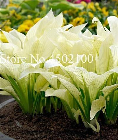 AGROBITS 100 Pcs Beautiful Hosta Bonsai Perennials Plantain Lily Flower White Lace Home Garden Ground Cover Ornamental Grass Plants 6