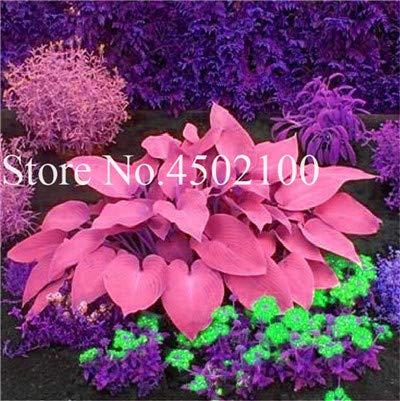 AGROBITS 100 Pcs Beautiful Hosta Bonsai Perennials Plantain Lily Flower White Lace Home Garden Ground Cover Ornamental Grass Plants 7