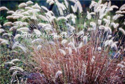 Kasuki 100 PcsBag Heirloom Pennisetum Alopecuroides Bonsai Ornamental Grass Plant for Home Garden Perennial Potted Planta Easy to Grow - Color 10