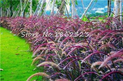 Kasuki 100 PcsBag Heirloom Pennisetum Alopecuroides Bonsai Ornamental Grass Plant for Home Garden Perennial Potted Planta Easy to Grow - Color 6