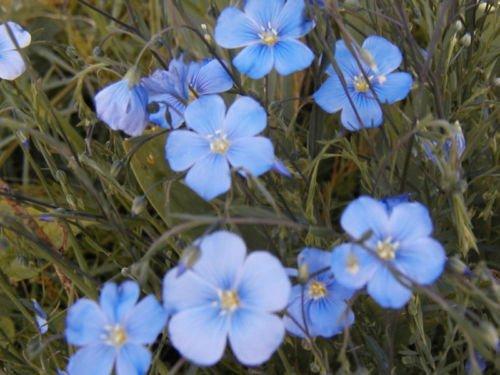 Flax Blue Sun Perennial Flower 75 Seeds Groco