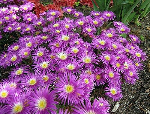 Starburst Ice Plant - Sun Perennial - Delosperma - 325 Pot