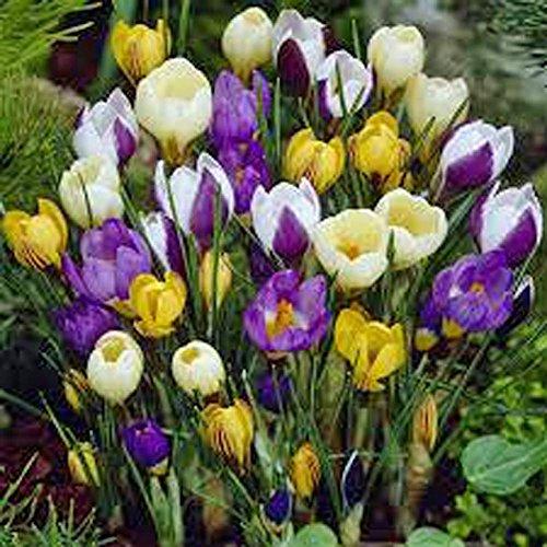 Crocus Species Mix 10 Bulbs Purple White Yellow Perennial Bulb Mix