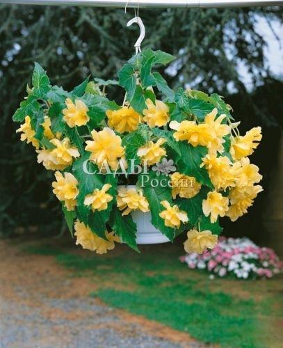 Flower seedsBegonia hang-downing Terry yellow Perennial