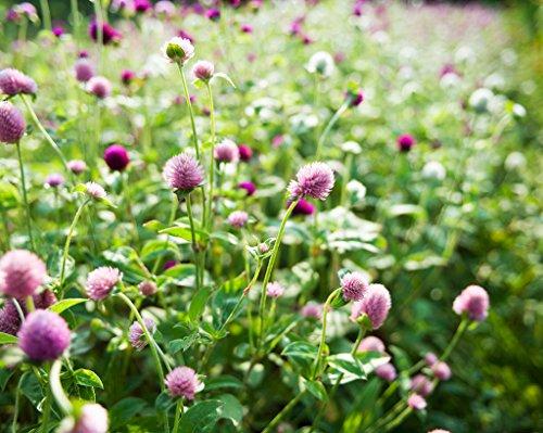 Futaba&reg Red Clover Leguminosae Perennial Herb 10000 Seeds